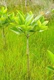 Árvore nova dos manguezais Imagens de Stock Royalty Free