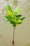 Árvore nova dos manguezais Foto de Stock Royalty Free