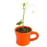 Árvore nova na laranja do potenciômetro Imagem de Stock Royalty Free