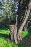 A árvore, o templo dos céus Fotografia de Stock Royalty Free