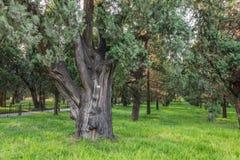 A árvore, o templo dos céus Imagens de Stock
