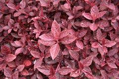Árvore orgânica do amaranto roxo, espinafre na natureza Imagens de Stock