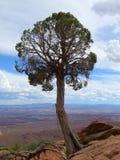 Árvore orgulhosa Canyonlands do zimbro Imagens de Stock Royalty Free