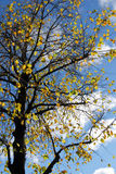 Árvore outonal Fotos de Stock Royalty Free