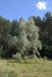 Árvore pálida - folhas do verde Fotos de Stock