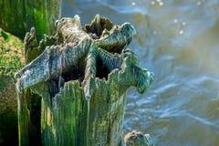 Árvore pútrido foto de stock royalty free