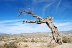 Árvore Parched no deserto Fotos de Stock Royalty Free