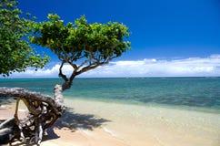 Árvore pequena bonita do heliotrópio na praia de Anini Fotos de Stock Royalty Free