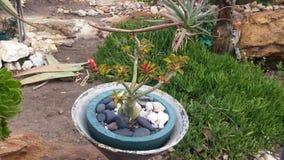 Árvore pequena dos bonsais com uma vagem da semente Foto de Stock Royalty Free