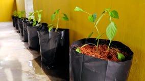 Árvore pequena dos pimentões Foto de Stock