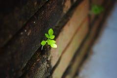 A árvore pequena está crescendo em uma parede velha Fotografia de Stock