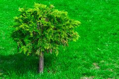 árvore pequena no gramado verde, arbusto na grama fotografia de stock royalty free