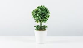 Árvore pequena no potenciômetro branco isolado Fotos de Stock