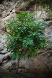 Árvore pequena no prumo dianteiro do fundo da rocha Fotos de Stock Royalty Free