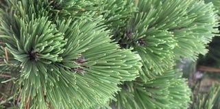 Árvore, pinho sempre-verde, bosniano, heldreichii do pinus foto de stock royalty free