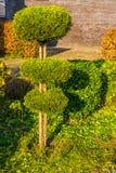 Árvore podada em círculos redondos, jardim recentemente grampeado das coníferas, manutenção do quintal fotografia de stock