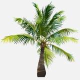 Árvore pouca árvore de coco de espalhamento macia verde Fotos de Stock