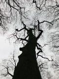 Árvore preta austero do inverno e dossel de floresta com ramos torcidos Foto de Stock Royalty Free