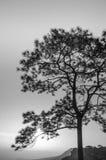 Árvore: Preto e branco Foto de Stock Royalty Free