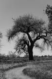Árvore preto e branco do Cottonwood Imagens de Stock