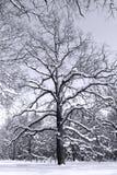 Árvore preto e branco nas madeiras Fotos de Stock