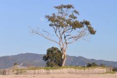 Árvore quase desencapada com lua do dia Imagens de Stock Royalty Free