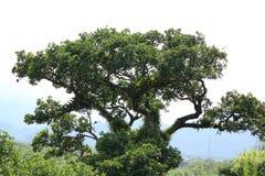 A árvore que ainda insiste na vida Fotos de Stock Royalty Free