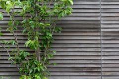 Árvore que cobre uma parede de madeira imagem de stock royalty free