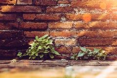 A árvore que cresce através da quebra da parede vermelha faz-me do tijolo do vintage Imagem de Stock
