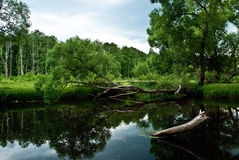 Árvore que cresce horizontalmente acima do lago Foto de Stock