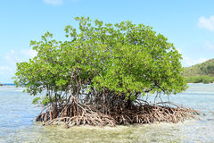 Árvore que cresce na água Fotos de Stock