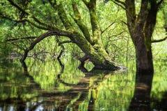 Árvore que deixa uma reflexão bonita no lago Imagens de Stock Royalty Free