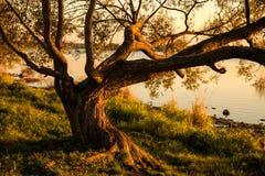 Árvore que espalha seus ramos Foto de Stock Royalty Free