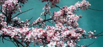 Árvore que floresce na mola no rosa imagem de stock
