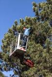 Árvore que poda por um homem com uma serra de cadeia, estando em uma plataforma mecânica, na alta altitude entre os ramos de pinh imagem de stock royalty free