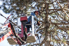 Árvore que poda por um homem com uma serra de cadeia, estando em uma plataforma mecânica, na alta altitude entre os ramos de pinh Fotos de Stock