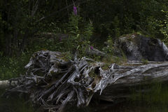 Árvore queimada, lago Coldwater, Washington Fotos de Stock