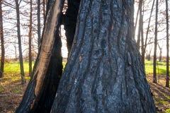 Árvore queimada nas madeiras Fotos de Stock