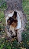 A árvore rachou-se pelas mãos do homem Foto de Stock