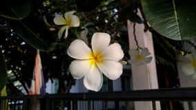 A árvore rara do cemitério das flores tem seis pétalas fotografia de stock