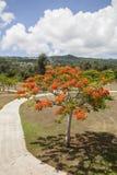Árvore real de Poinciana foto de stock