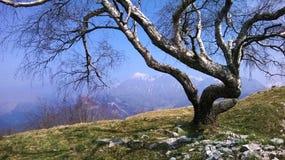 Árvore resistida na cimeira de Slovanian Imagem de Stock