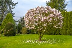 A árvore roxa bonita da magnólia chamou o ` ` grande do gajo foto de stock royalty free
