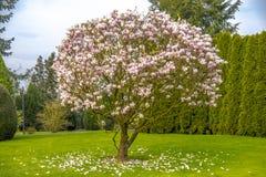 A árvore roxa bonita da magnólia chamou o ` ` grande do gajo fotografia de stock royalty free