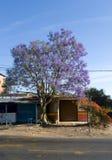 Árvore roxa do jacaranda Imagens de Stock