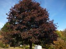 Árvore roxa escura imagens de stock