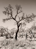 Árvore só Austrália do deserto do interior fotografia de stock royalty free