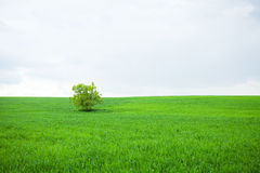 Árvore só em um campo fotografia de stock