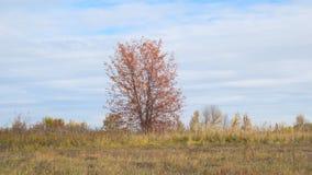 Árvore só no campo com as folhas de outono vermelhas video estoque