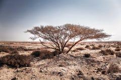 Árvore só no deserto Fotografia de Stock